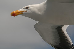 albatross(0.0), gannet(0.0), animal(1.0), charadriiformes(1.0), wing(1.0), white(1.0), close-up(1.0), european herring gull(1.0), beak(1.0), bird(1.0), flight(1.0), seabird(1.0),