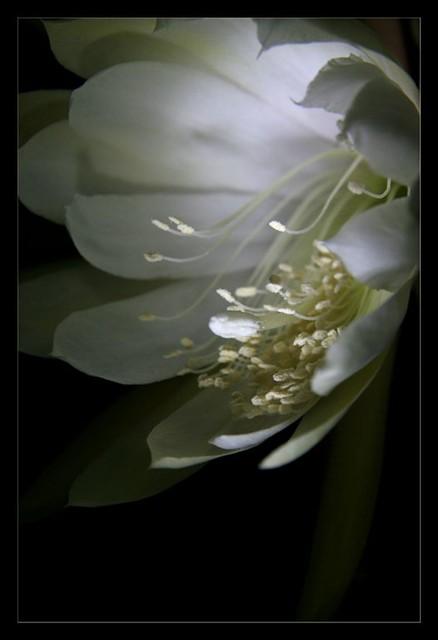 flowermacro - königin der nacht