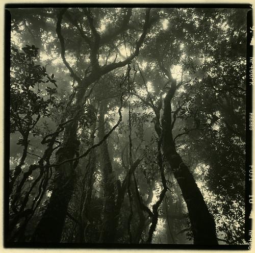 trees bw mist tree 120 6x6 darkroom forest mediumformat paper print thailand thai chiangmai neopan toned ilford inthanon teatoned teatoning zenzanon 40f4