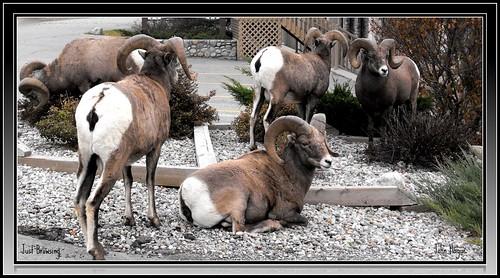 canada animals bc east fujifilm bighorn radium kootenay picnik
