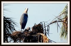 Bird - Juvenile Great Blue Heron