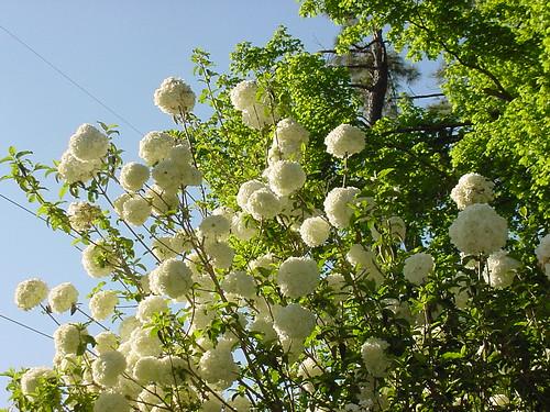 On White The Puff Ball Tree By Dobesmile Medium