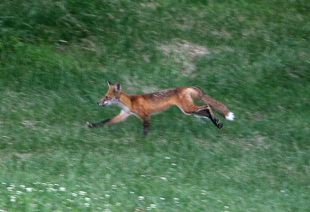 Running from the Coyote? | Flickr - Photo Sharing!  Running from th...