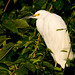 Snowy Egret in Sunset by vracing