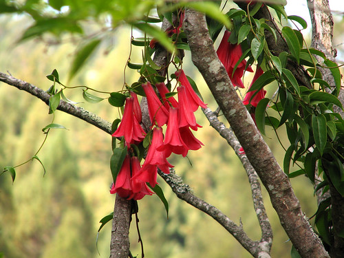 Lapageria rosea 'Wild Red'