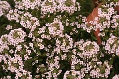 yarrow, annual plant, blossom, iberis sempervirens, flower, alyssum, branch, plant, herb,