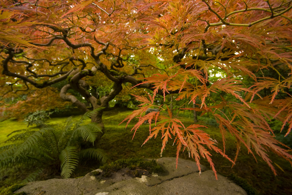 Rhone street gardens autumn at the portland japanese garden for Portland japanese garden koi