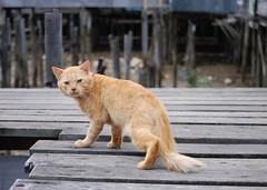 Kampong Ayer pets