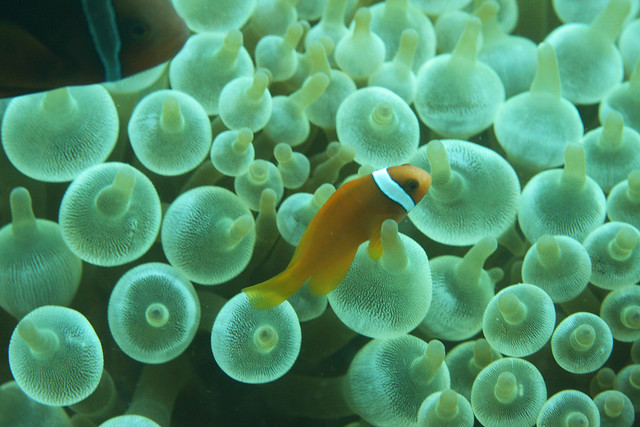 Tomato clownfish anemone - photo#28