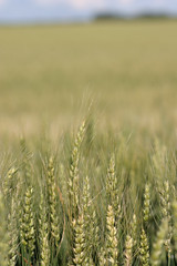 prairie, agriculture, triticale, steppe, rye, food grain, field, barley, wheat, plain, plant, food, natural environment, crop, meadow, cereal, grassland,