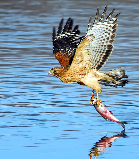 Red-Shouldered Hawk Fishing...New Crop