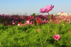 blossom(0.0), lawn(0.0), poppy(0.0), annual plant(1.0), prairie(1.0), flower(1.0), field(1.0), grass(1.0), garden cosmos(1.0), sunlight(1.0), plant(1.0), nature(1.0), wildflower(1.0), flora(1.0), meadow(1.0), cosmos(1.0), pink(1.0), grassland(1.0), petal(1.0),