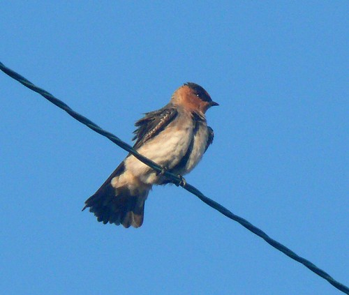 bird oklahoma birds adult aves songbird rarity photodocumentation tillmancounty hackberryflatwma caveswallow petrochelidonfulva ebird plumagestudy obrc