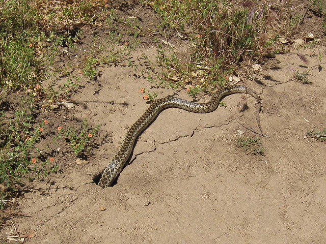 IMG_2189CrS Snake in hole | Flickr - Photo Sharing!