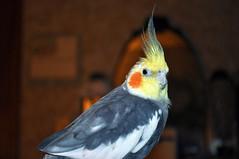 cockatoo, animal, yellow, wing, pet, fauna, close-up, cockatiel, beak, bird, wildlife,