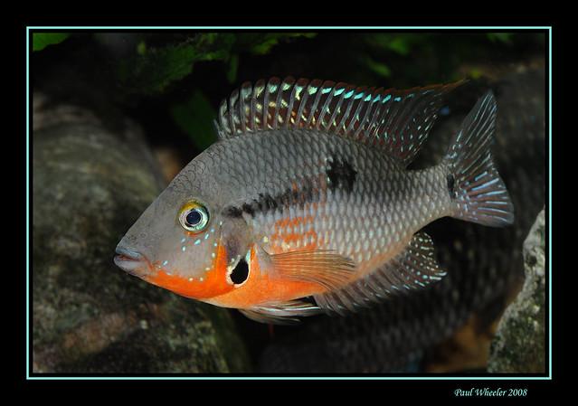 Firemouth Cichlid Juvenile Firemouth Cichlid Fish
