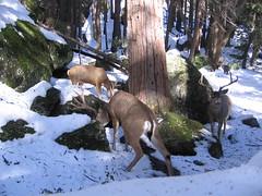 deer, winter, snow, fauna, white-tailed deer, elk, wildlife,