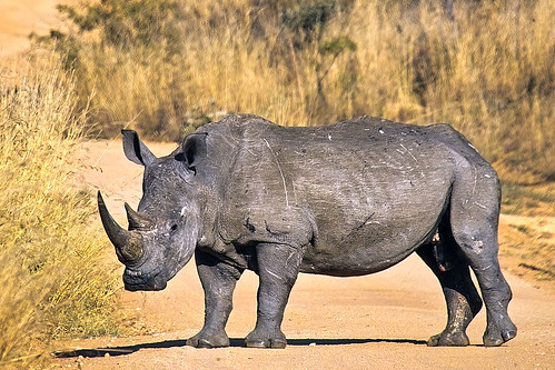 Old white rhino bull