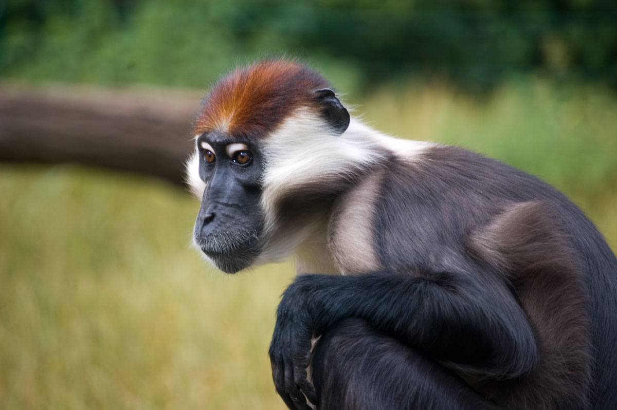 Cherry-Crowned Mangabey