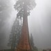 Lost and Surrounded by Giants - Sequoia Tree Panorama in Sequoia National Park Panorama