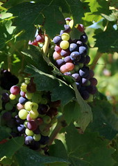 agriculture, shrub, berry, plant, grape, produce, fruit, food,