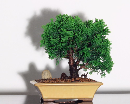 Dwarf Hinoki Cypress with stone