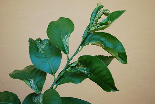 Ortensie Con Foglie Arricciate : Limoncini neri e foglie arricciate forum di giardinaggio