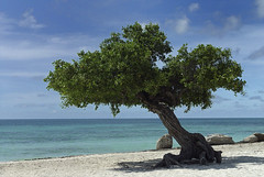 Aruba Divi Tree - Eagle Beach