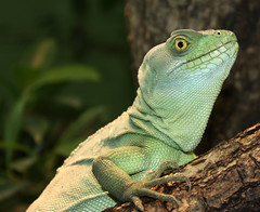 animal, green lizard, reptile, lizard, green, fauna, close-up, lacerta, dactyloidae, iguana, scaled reptile, wildlife,