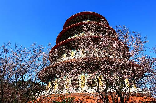 068I天元宮櫻花