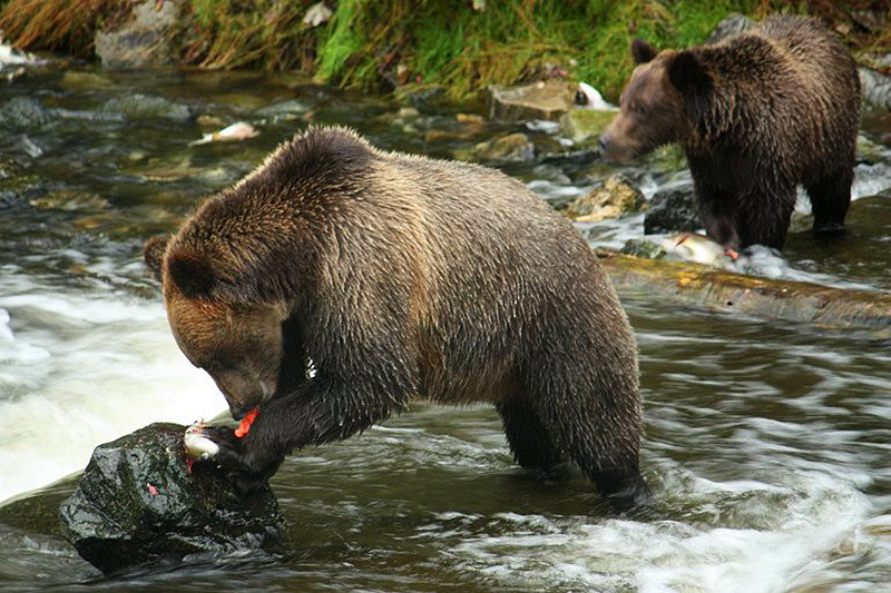 Grizzly Bears feeding on Salmon in Knight Inlet, British Columbia, Canada. Photo Grizzly Bear Lodge & Safari: www.grizzly-bear-watching.com
