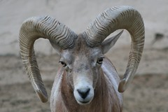 sheeps(0.0), sheep(0.0), springbok(0.0), animal(1.0), argali(1.0), mammal(1.0), horn(1.0), barbary sheep(1.0), fauna(1.0), close-up(1.0), wildlife(1.0),
