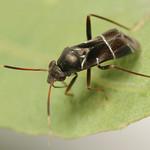 ezüstös mezeipoloska - Pilophorus perplexus