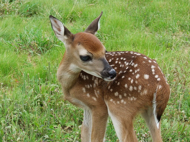 baby whitetail fawn in - photo #23