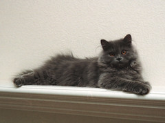 domestic long-haired cat, animal, british shorthair, british semi-longhair, small to medium-sized cats, pet, cat, carnivoran, whiskers, nebelung, norwegian forest cat,