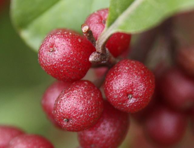 55 Autumn Olive