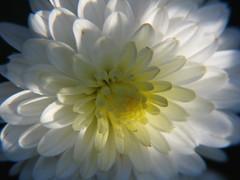 Shadow On The Chrysanthemum