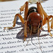 Jerusalem cricket, reading up on its neighbors