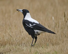 Australian Magpie - Photo (c) Lip Kee Yap, some rights reserved (CC BY-SA)