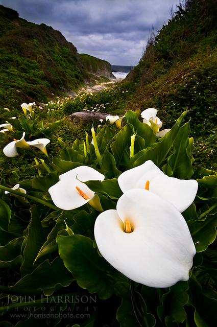Calla Lilies in Garrapata State Park