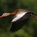 Birds In Flight - BIF