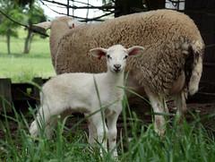 Nice lamb