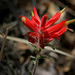 Santa Catalina Indian Paintbrush - Photo (c) Patrick Alexander, some rights reserved (CC BY-NC-ND)