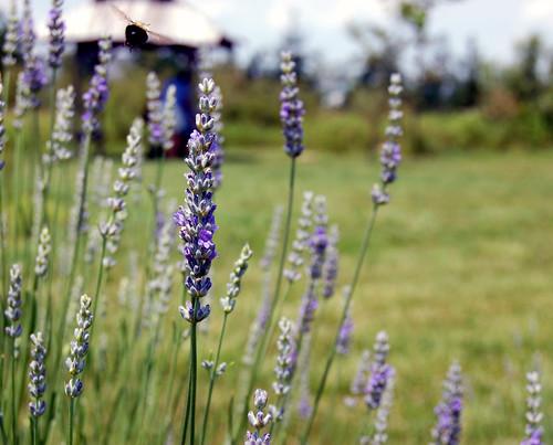 Lavender Bee Series IV