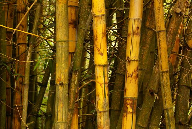 Maui, Bamboo