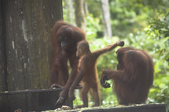 Orangutan Rehabilitation Centre