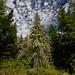 Greenstone Ridge Lichen