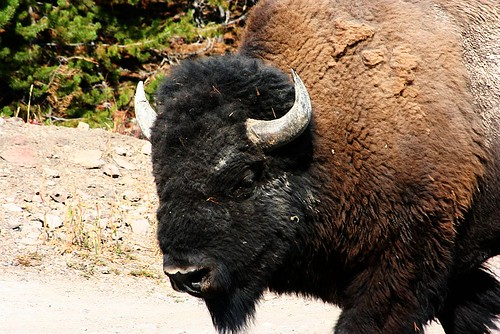 Bison Rule in Yellowstone
