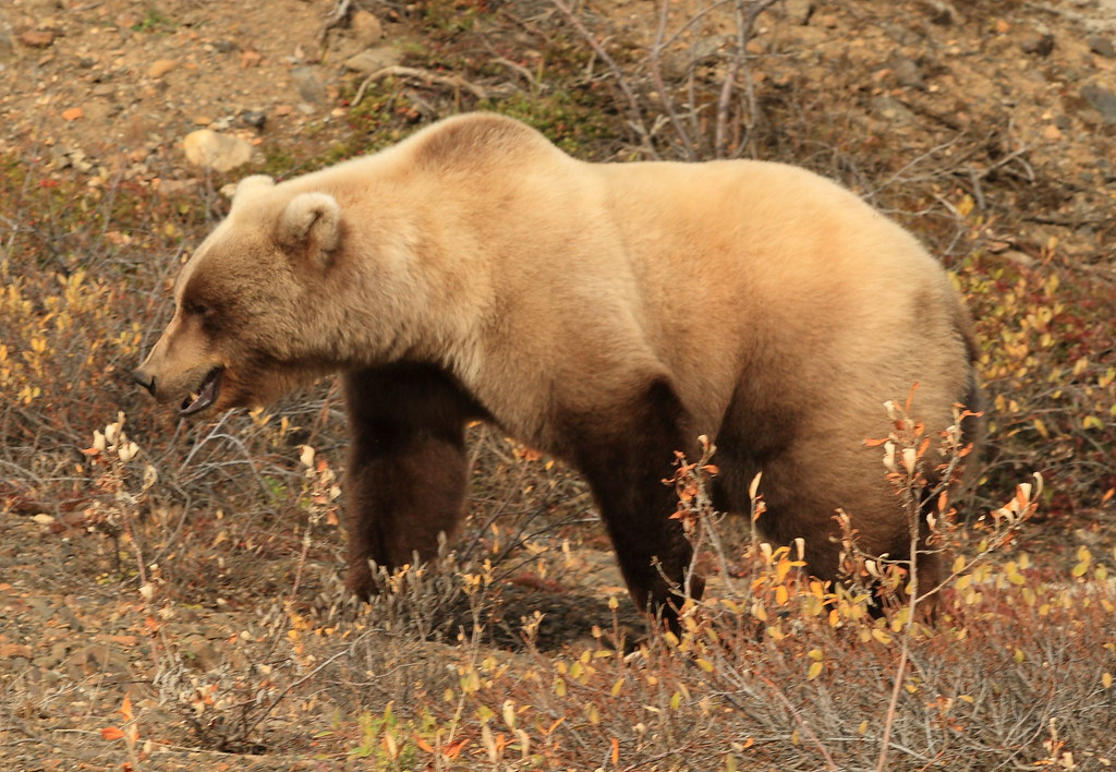 Grizzly Woman: Louisa Willcox Battles for Bears
