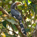 Malabar Grey Hornbill - Photo (c) Sergey Yeliseev, some rights reserved (CC BY-NC-ND)